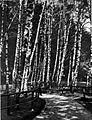 Breze v tivolskem gozdu jeseni 1928.jpg