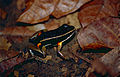 Brilliant-thighed Poison Frog (Allobates femoralis) (10379061003).jpg