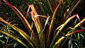 Bromelia unaensis Leme & Scharf (7272516144).jpg