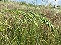 Bromus secalinus subsp. decipiens sl4.jpg