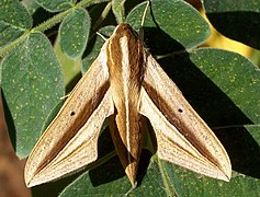 Brown-Banded Hunter Hawkmoth Theretra silhetensis.jpg
