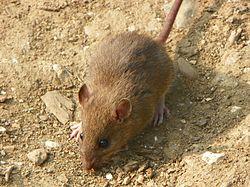 Brown Rat (Rattus norvegicus) (5642928470).jpg