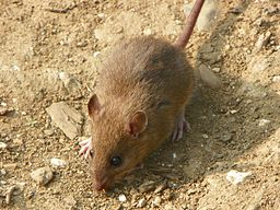 Brown Rat (Rattus norvegicus) (5642928470)