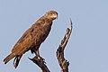 Brown Snake Eagle (11914065625).jpg