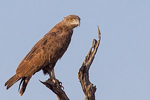 Brown snake eagle - Adult in Madikwe GR, South Africa