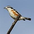 Brubru, Nilaus afer, at Marakele National Park, Limpopo, South Africa (39838185503).jpg