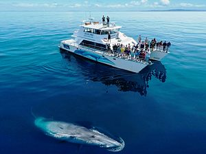 Hauraki Gulf - A Bryde's Whale with a watching vessel.