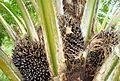 Buah kelapa sawit (16).JPG