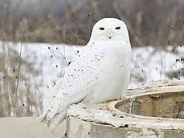 Bubo scandiacus male Muskegon.jpg