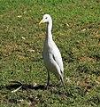 Bubulcus ibis R05.jpg