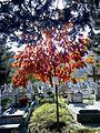 Bucuresti, Romania, Cimitirul Bellu Catolic (puiet de stejar).jpg