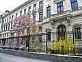 Bucuresti, Romania. O Magnolie si o Forzitia in curtea Bancii Nationale a Romaniei. Aprilie 2019.jpg