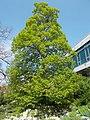 Buda Arboreta. Upper garden. Mongolian lime (Tilia mongolica). - Budapest.JPG