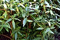 Buddleja davidii in Plants in Dunedin Botanic Garden 14.jpg