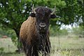 Buffalo are abundant at Stasney's Cook Ranch in Albany, Texas. (24992244122).jpg