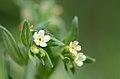 Buglossoides arvensis (7188915951).jpg