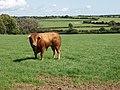 Bull in a field near Ballycashin - geograph.org.uk - 1475428.jpg