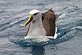 Buller's Albatross (25908461821).jpg