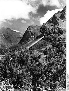 <i>Juniperus tibetica</i> species of plant
