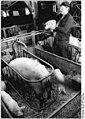 Bundesarchiv Bild 183-1988-0122-003, Güntersfelde, Bauer an einer Abferkelbox.jpg