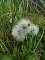 Bunga Randa Tapak (Dandelion).jpg