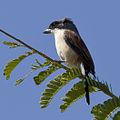 Burmese Shrike - Lanius collurioides.jpg