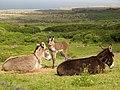Burren - near Ballynalacken Castle - Eselfamilie - panoramio.jpg