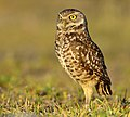 Burrowing Owl0.jpg