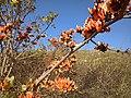 Butea blooms 2.jpg