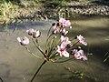 Butomus umbellatus sl14.jpg