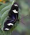 Butterfly 14s (5662464719).jpg
