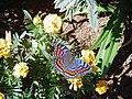 Butterfly at Millstream Farm - panoramio.jpg