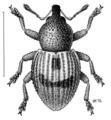 COLE Curculionidae Notinus cordipennis.png