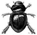 COLE Scarabaeidae Phycocus graniceps.png