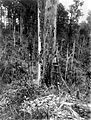 COLLECTIE TROPENMUSEUM Bomen kappen door Ver. Ind. Bosch-Expl. Mij. Simaloer N.W.Sum TMnr 10013237.jpg