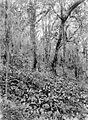 COLLECTIE TROPENMUSEUM Podocarpus imbricata en Plantago bij de vulkaan Kawi TMnr 10024212.jpg