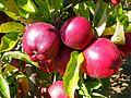 CSIRO ScienceImage 11262 Apples on tree.jpg
