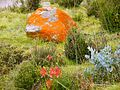 CSIRO ScienceImage 11281 Flora at Cradle Mountain Tasmania.jpg