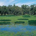 CSIRO ScienceImage 4699 Water weed black box and gum trees in wetlands near Griffith NSW 1995.jpg