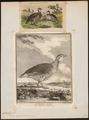 Caccabis rufa - 1700-1880 - Print - Iconographia Zoologica - Special Collections University of Amsterdam - UBA01 IZ17100293.tif