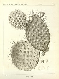 Cactaceae of the boundary (Plate 67) BHL8100682.jpg