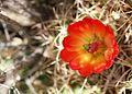 Cactus flower closeup image.jpg