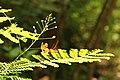 Caesalpinia pulcherrima (36084175001).jpg