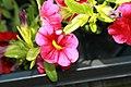 Calibrachoa hybrida Cabaret Cherry Rose 1zz.jpg
