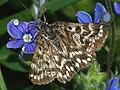 Callistege mi - Mother Shipton moth - Клеверная совка серая (39054796140).jpg