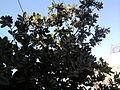 Calophyllum inophyllum (12).jpg