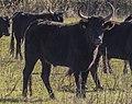 Camargue cattle, Saint-Gilles 08 (cropped).jpg