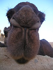 Camel's Face, close-up (Iran, 2004).JPG