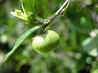 Semence portant le fruit du Camellia sinensis