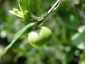 Planta Camellia sinensis ceai VERDE